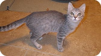Domestic Shorthair Kitten for adoption in Quail Valley, California - Treat