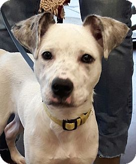 Catahoula Leopard Dog/Cattle Dog Mix Puppy for adoption in CUMMING, Georgia - Dill