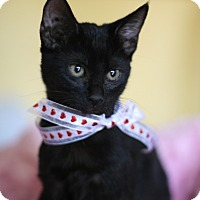 Domestic Shorthair Kitten for adoption in Studio City, California - Lacey lap cat