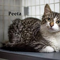 Adopt A Pet :: Peeta - Albuquerque, NM