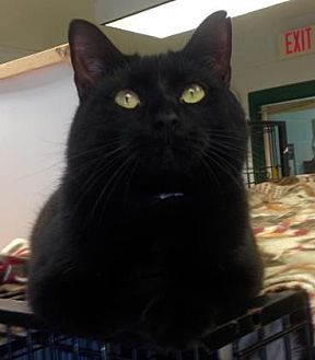 Domestic Shorthair Cat for adoption in Anderson, Indiana - Mark