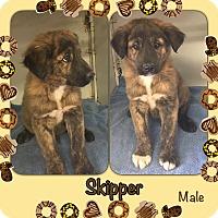 Adopt A Pet :: Skipper-pending adoption - Manchester, CT