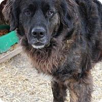 Adopt A Pet :: Kami - Savannah, MO