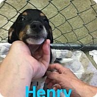 Adopt A Pet :: Henry - Foristell, MO