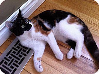Calico Kitten for adoption in Huntsville, Ontario - Cali - Sweet!