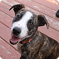 Adopt A Pet :: Shandy - Chicago, IL