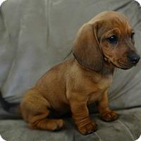 Adopt A Pet :: Kiwi - Greenville, RI