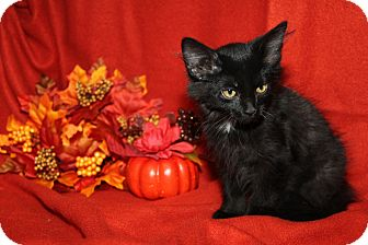 Domestic Mediumhair Kitten for adoption in Marietta, Ohio - Montana (Neutered)