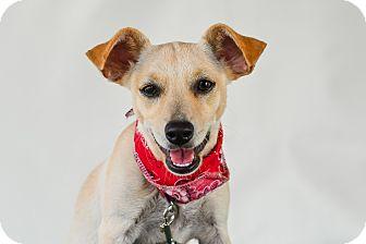 Chihuahua Mix Puppy for adoption in Calgary, Alberta - Perla