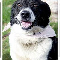 Adopt A Pet :: Cow Girl very social, happy do - Sacramento, CA