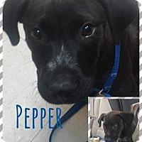 Adopt A Pet :: Pepper - Allen, TX
