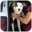 Photo 1 - Labrador Retriever Mix Puppy for adoption in Groveland, Florida - Cookie
