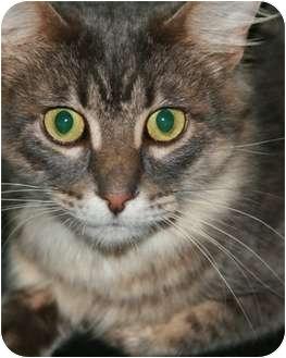 Domestic Shorthair Cat for adoption in St. Louis, Missouri - Aubrey