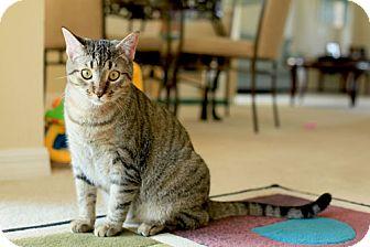 Domestic Mediumhair Cat for adoption in Orlando, Florida - Lily