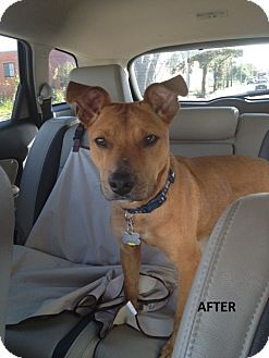 American Staffordshire Terrier Mix Dog for adoption in Houston, Texas - Oscar