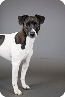 Rat Terrier Mix Dog for adoption in Muskegon, Michigan - Niles