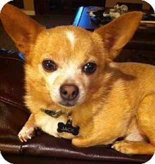 Chihuahua Mix Dog for adoption in Mesa, Arizona - Jack