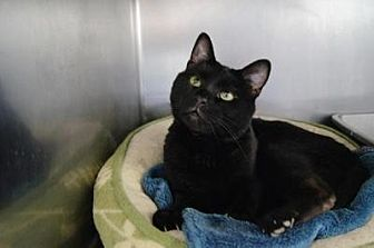 Domestic Shorthair Cat for adoption in New Milford, Connecticut - Coffee