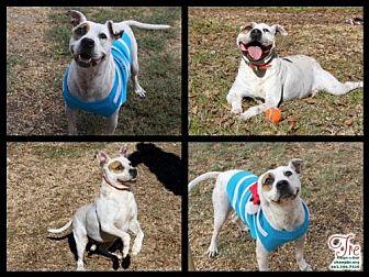 Pit Bull Terrier Dog for adoption in Columbus, Mississippi - Tre