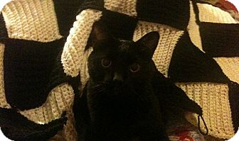 Domestic Shorthair Cat for adoption in Memphis, Tennessee - Le Chat Noir