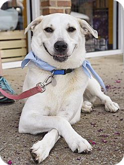 Labrador Retriever/Husky Mix Dog for adoption in Marietta, Georgia - Daisy