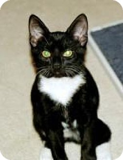 Domestic Shorthair Cat for adoption in Stafford, Virginia - PJ