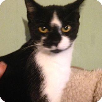 Domestic Shorthair Cat for adoption in Bridgeton, Missouri - Vinny