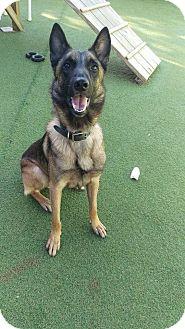 Belgian Malinois Dog for adoption in Cape Coral, Florida - Zeus