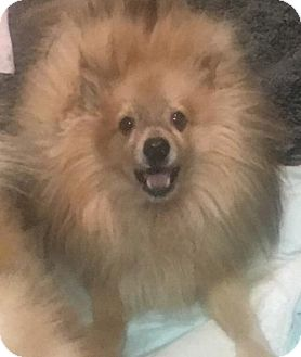 Pomeranian Dog for adoption in Seattle, Washington - Liam Moo