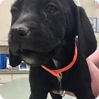 Irish Setter/Labrador Retriever Mix Puppy for adoption in Hockessin, Delaware - Barbie
