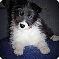 Adopt A Pet :: Sambuca - Plainfield, IL