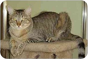 Domestic Shorthair Cat for adoption in Elk Grove, California - Clem