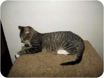 Domestic Shorthair Cat for adoption in Modesto, California - Mohawk
