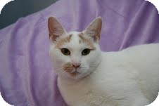 Domestic Shorthair Cat for adoption in East Brunswick, New Jersey - Seline