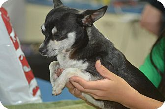 Chihuahua Dog for adoption in Miami, Florida - Rolly