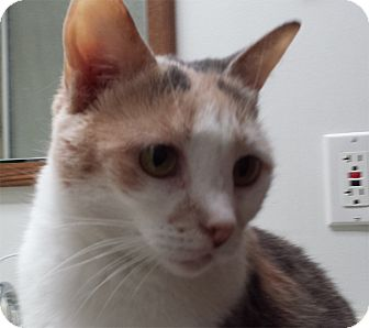 Domestic Shorthair Cat for adoption in Milford, Ohio - Lucy