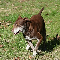 Labrador Retriever Mix Dog for adoption in Gillsville, Georgia - Ralphie