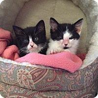 Adopt A Pet :: Cowboy - Santa Rosa, CA