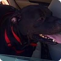 American Bulldog Mix Dog for adoption in Asheville, North Carolina - Bo (Courtesy Post)