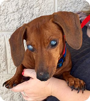 Dachshund Mix Dog for adoption in Mount Pleasant, South Carolina - Rascal