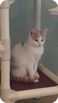Domestic Shorthair Kitten for adoption in La Crescent, Minnesota - Lucie **CIA Agent