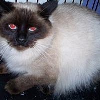 Ragdoll Cat for adoption in Suffolk County, New York - MELANIE