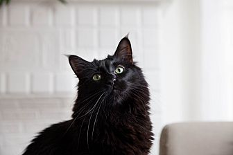 Domestic Mediumhair Cat for adoption in Los Angeles, California - Rockstar (bonded to Moose)