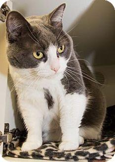 Domestic Shorthair Cat for adoption in Lowell, Massachusetts - Autumn
