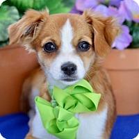 Adopt A Pet :: Nutmeg - Irvine, CA