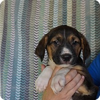 Adopt A Pet :: Razz - Oviedo, FL