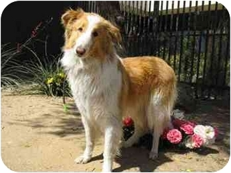 Collie Dog for adoption in Riverside, California - Jillian