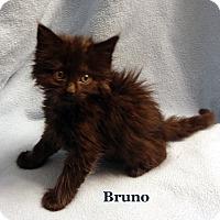 Adopt A Pet :: Bruno - Bentonville, AR