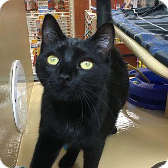 Domestic Shorthair Kitten for adoption in Statesville, North Carolina - Zahara