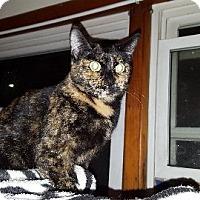 Domestic Shorthair Cat for adoption in Aurora, Illinois - Momma